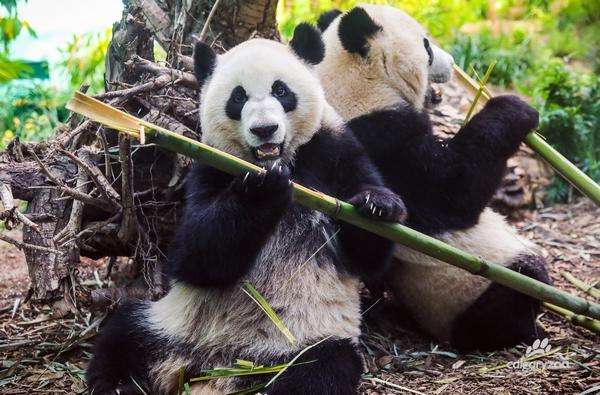 附图2:熊猫在动物园中悠闲地吃竹子.jpg